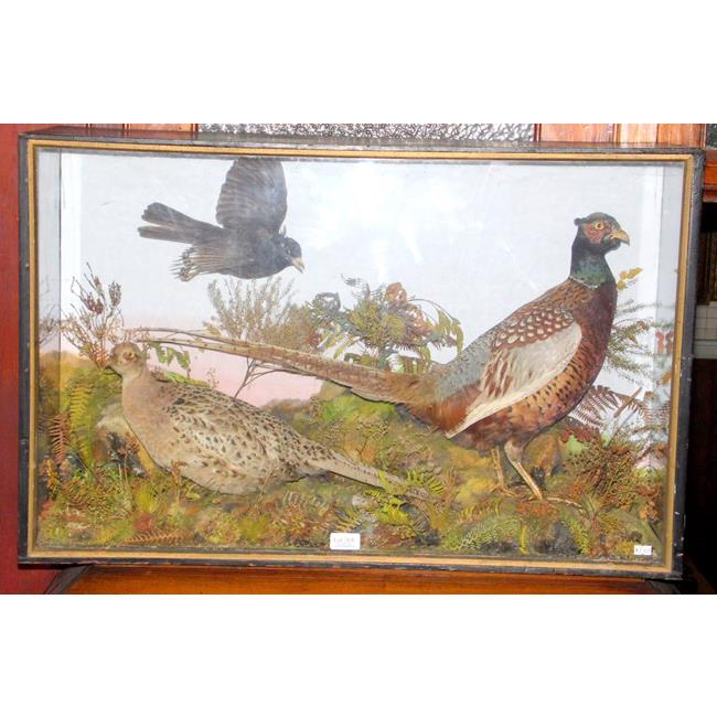 Antique Taxidermy 'Pheasant' in Painted Pine Case